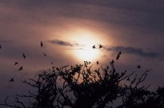 Starlings flying to roost